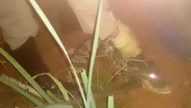 Bombeiros resgatam jacaré de 1,5 metro em residência na capital