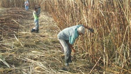 Usina em Goiás é condenada por esconder trabalhadoras no mato durante fiscalização