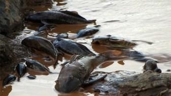 Peixes mortos pela falta de oxigênio e excesso de substâncias venenosas: e o desastre ainda não chegou ao mar | Divulgação/UOL
