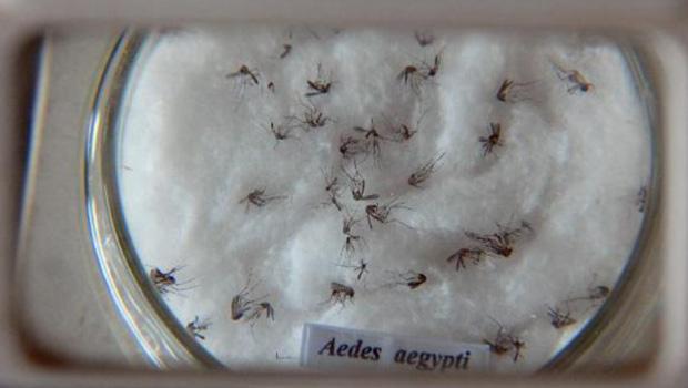 Mosuito Aedes aegypti é vetor de doenças   Arquivo/Agência Brasil