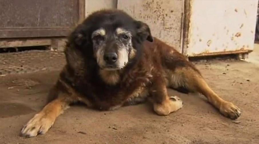 Maggie, a cachorra mais velha do mundo, morre aos 30 anos. Na Austrália