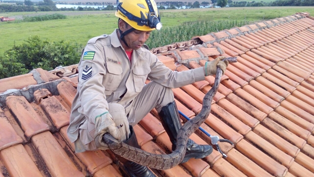 Bombeiros militares capturam jibóia em telhado de casa em Morrinhos
