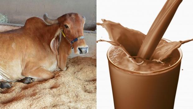 Parte dos americanos acredita que leite com chocolate vem de vacas marrons, diz pesquisa