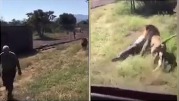 Leão ataca dono de reserva e causa pânico entre visitantes. Veja o vídeo chocante