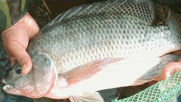 Tocantins é a nova grande fronteira da piscicultura no Brasil