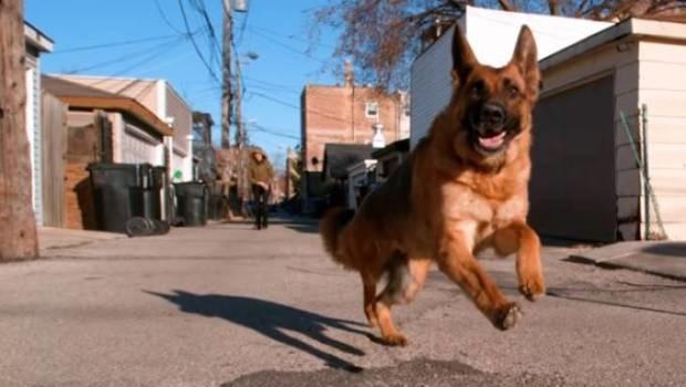Pastor alemão é diagnosticado com a Covid-19. É o primeiro cachorro a ter a doença