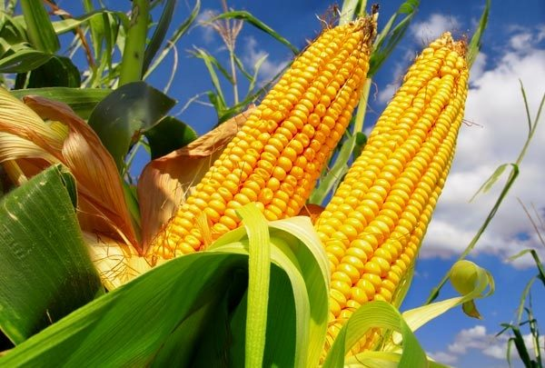 Produção de milho se torna destaque em Goiás