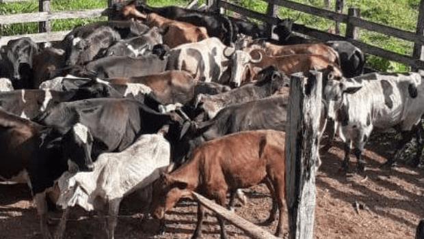 10 cabeças de gado furtadas são recuperadas pela PM em Ipiranga de Goiás