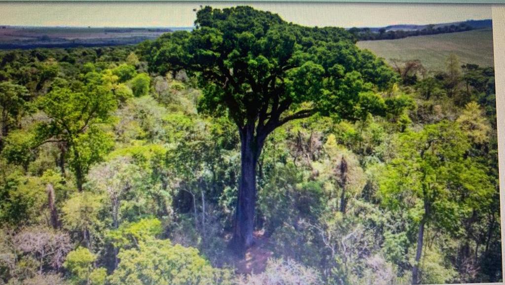 Jequitibá de São Paulo, com 600 anos, é a árvore mais antiga do Brasil