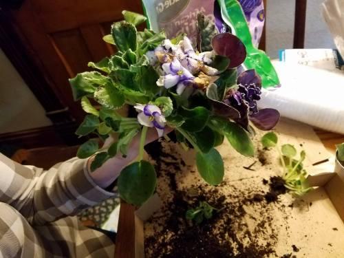 violets-4-1
