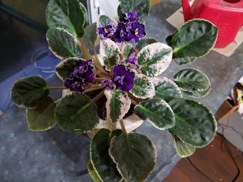 Violets-11