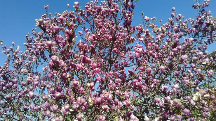 Les 4 saisons : magnolia dans le jardin, premiers signes de l'arrivée du printemps.