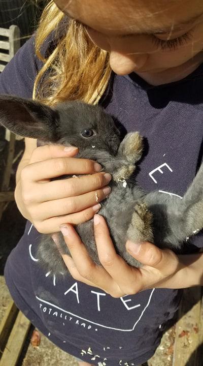 bébé lapin nain bélier