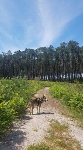 Cure de phytoncides avec le chien dans la forêt des landes pour renforcer notre sysytème immunitaire