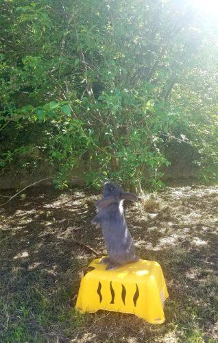 lapin bélier nain acrobate