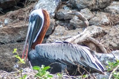 Galapagos brown pelican.