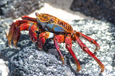 Galapagos-Sally Lightfoot crab.
