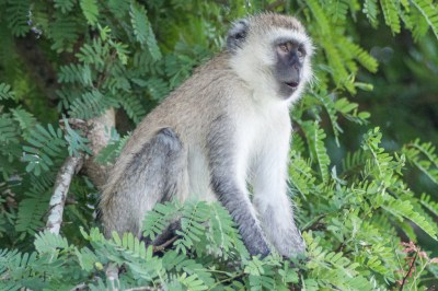 A vervet monkey stands guard over its domain.