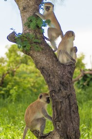 Vervet monkeys .
