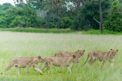 Lionesses catch the scent of a potential prey.