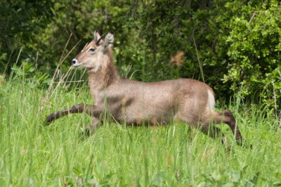 Juvenile male waterbuck prances through the savannah grass.