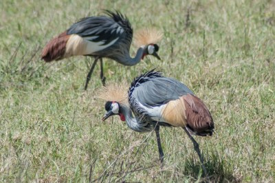 Ngorongoro crowned cranes