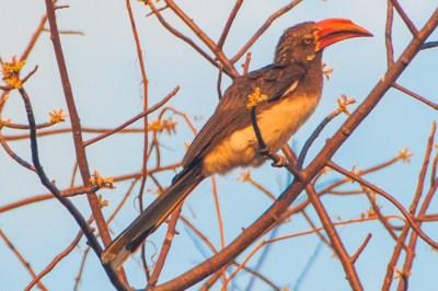 Mumbo Island - Red-billed Hornbill