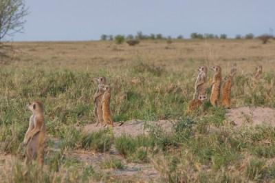 Botswana - Kalahari Meerkat Salute.