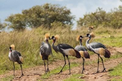 Kenya - Mara Crowned Cranes