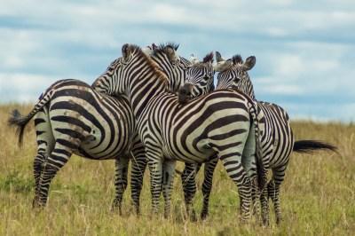 Kenya - Ol Pejeta Zebras.