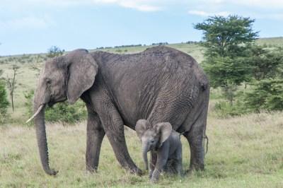Mara Porini Elephant