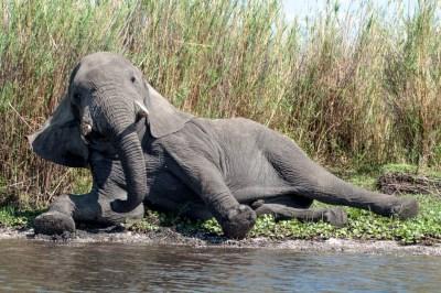 Liwonde Bull Elephant