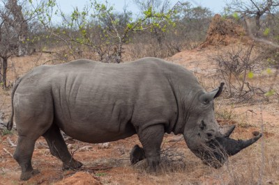 South Africa - Motswari rhino.