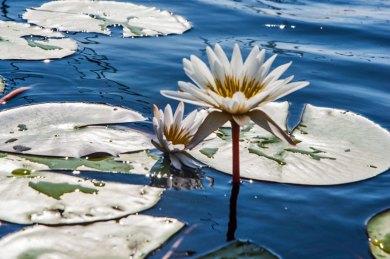 Botswana-Okavango Lillies.