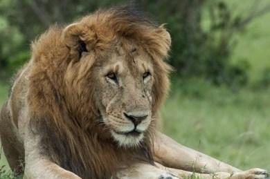Botswana-Kalahari lion