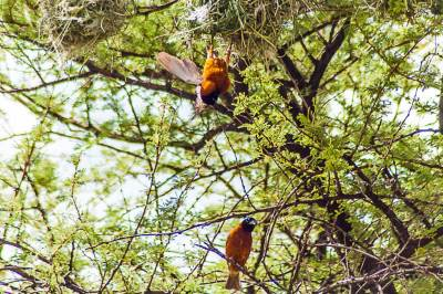 For chestnut weavers, nest building involves a lot of hanging out.