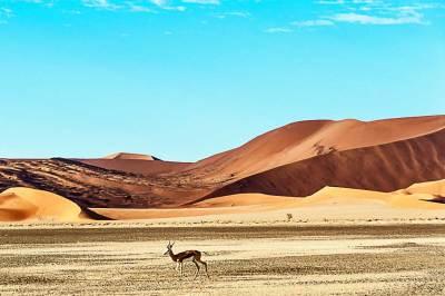 Wildlife in the dunes - Springbok.