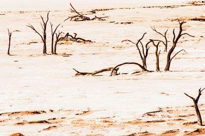 Petrified camel thorn trees as Deadvlei.