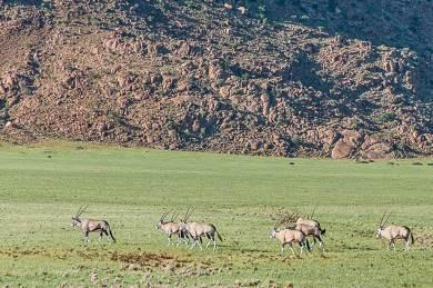 Namib-Oryx new grass.