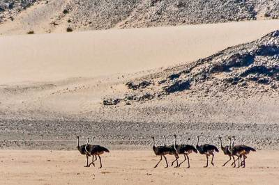 Ostriches have adapted to their desert environement.