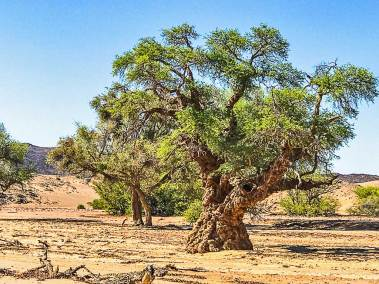 This ancient camel thorn tree looks like a close relative of Harry Potter's  whomping willow.
