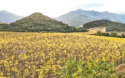 Patrimonio vineyards.