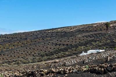 La Geria wine region landscape.