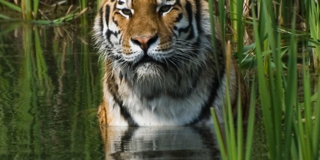 Tigers in the Dark