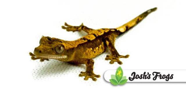 Caring For Crested Geckos Josh S Frogs How To Guides,Basil Pesto Sauce Recipe