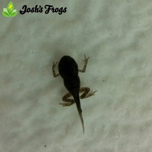 yellow spotted climbing toad captive bred for sale josh's frogs morphing toadlet