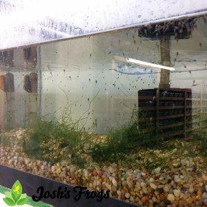 yellow spotted climbing toad tadpoles Pedostibes hosii josh's frogs for sale tank 3 week 2 b
