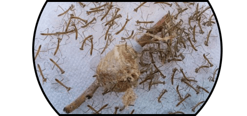 Chinese Mantis Tenodera Sinensis Care Guide Josh S Frogs How