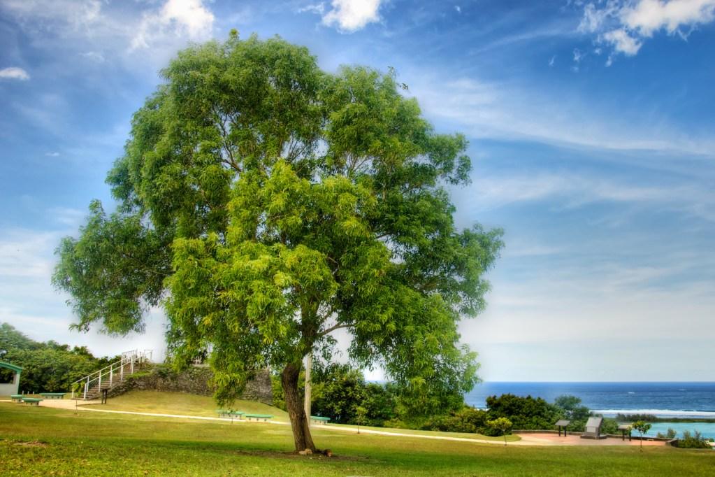 Fort Apugan Tree