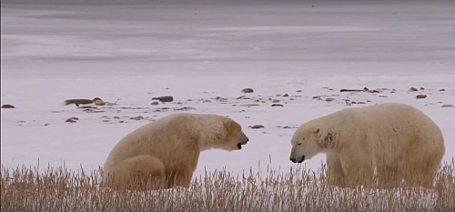 Polar bears prefer to live in the ice region as opposed to other animals that prefer the warm climate